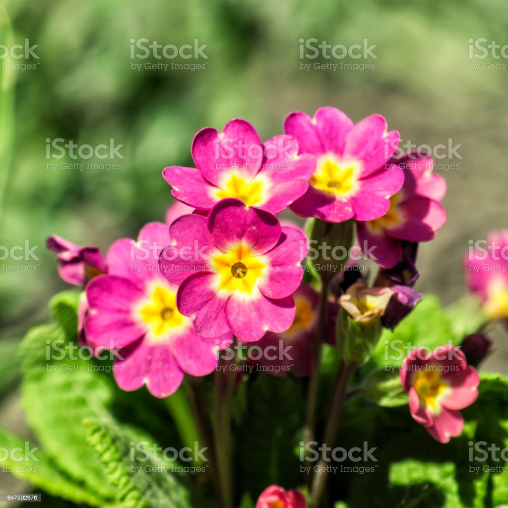 Pink primrose flowers (Primula vulgaris) stock photo