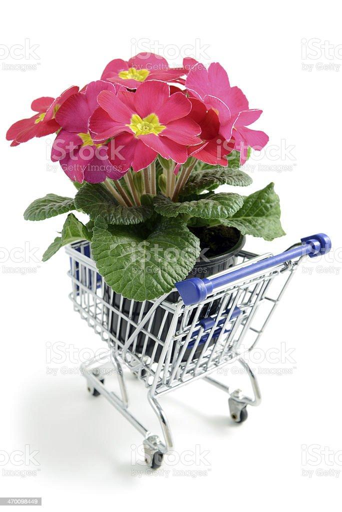 pink primrose in flower pot at shopping cart royalty-free stock photo