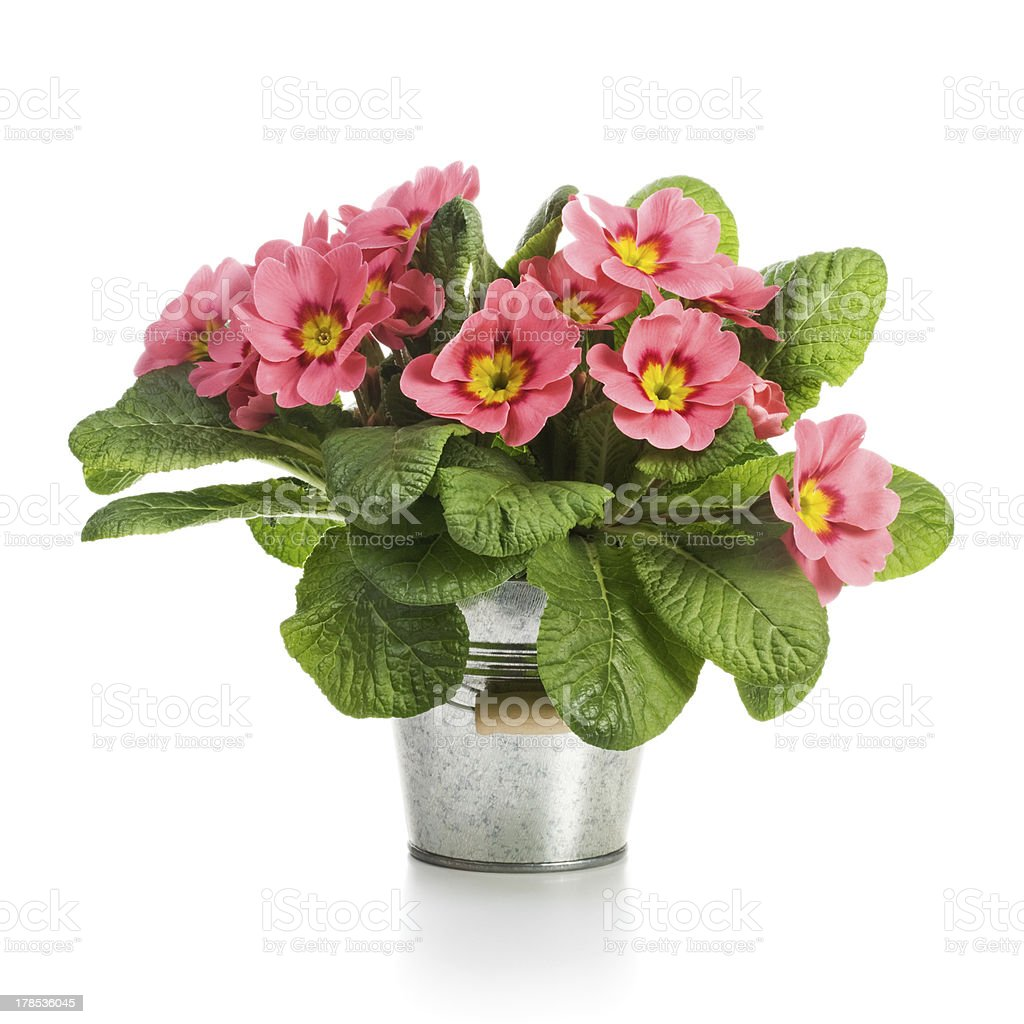 Pink Primroses royalty-free stock photo