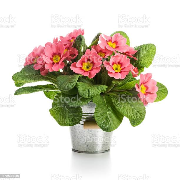 Pink primroses picture id178536045?b=1&k=6&m=178536045&s=612x612&h=b f2mxqhvnie3hujftsfcz am dqh3loe1bytd6dufg=