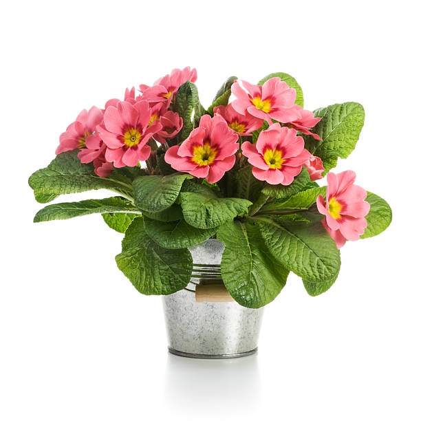 Pink Primroses Pink primroses in small metal bucket on white background primula stock pictures, royalty-free photos & images