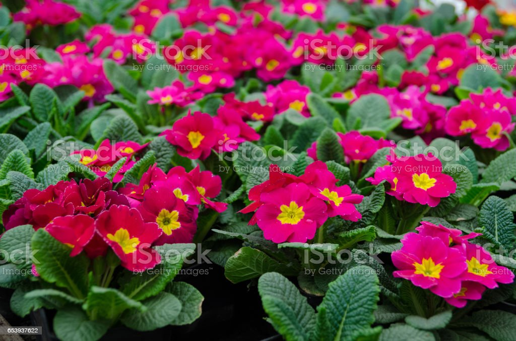 Pink primula in the garden center stock photo