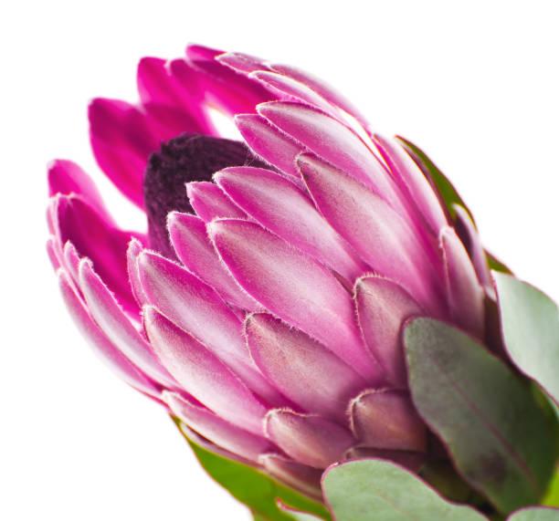 rosa protea blume nahaufnahme auf einer sauberen, weißen hintergrund. - protea strauß stock-fotos und bilder