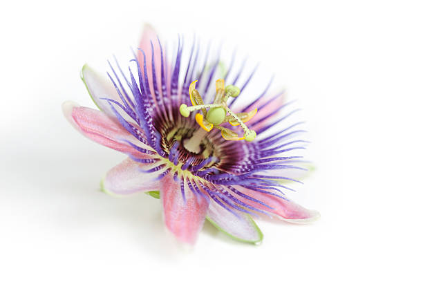 A pink, purple and white Passion flower Closer up version also available in my portfolio. Traditionally, the fresh or dried whole plant has been used as a homeopathic herbal medicine to treat nervous anxiety and insomnia. Petals, stamens and pistils have Christianity symbolism of the crown of thorns. terryfic3d stock pictures, royalty-free photos & images