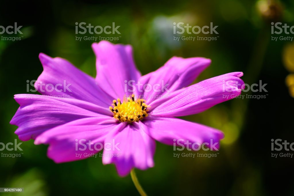 A Pink purple cosmos. Close up of single cosmos flower. stock photo