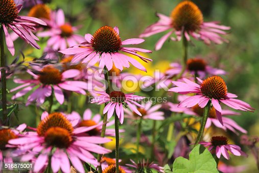 Photo showing a clump of pink / purple coneflowers (cone flowers), Latin name: Echinacea purpurea 'Magnus'.  These echinaceas are pictured growing in the full sunshine, in an established herbaceous border / flower garden.
