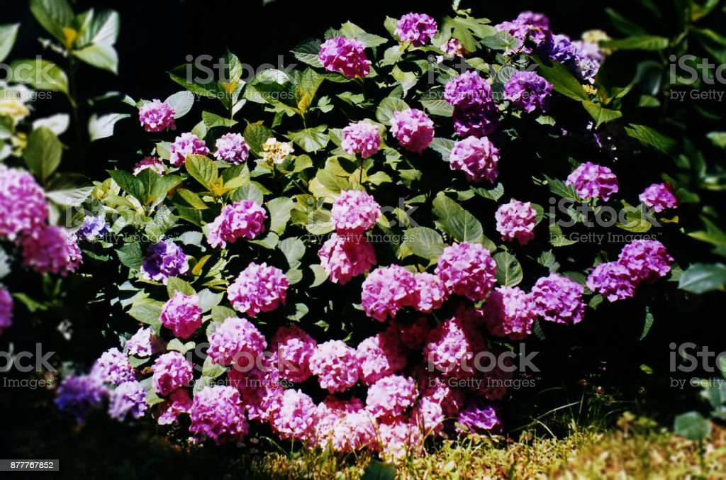 Pink, purple flowers stock photo