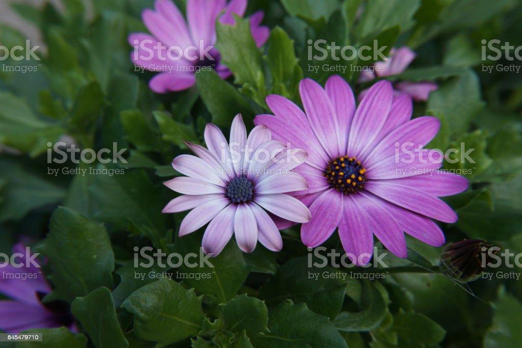 pink purple white gerbera stock photo