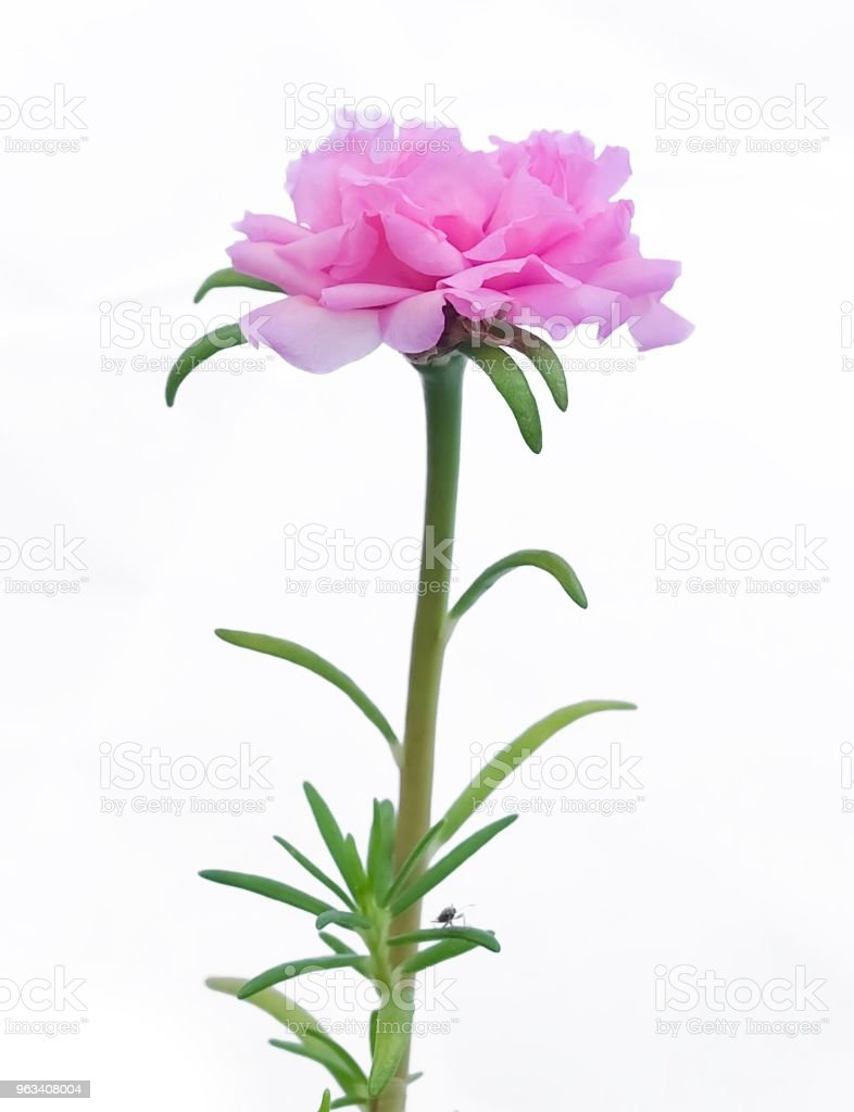 Różowy purslanowy kwiat lub róża mchu na białym tle - Zbiór zdjęć royalty-free (Portulaka)
