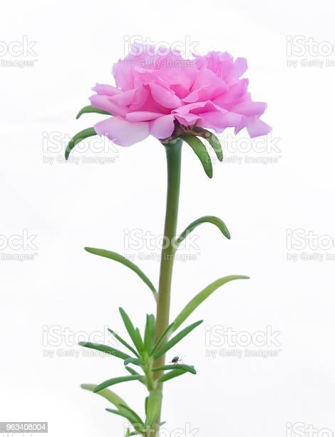 Różowy Purslanowy Kwiat Lub Róża Mchu Na Białym Tle - zdjęcia stockowe i więcej obrazów Portulaka