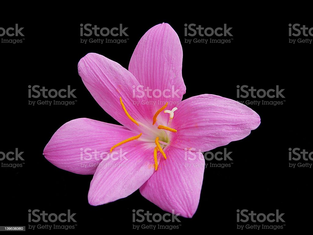 Pink Rain Lily royalty-free stock photo