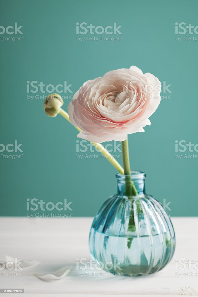 Pink ranunculus in vase against turquoise background, beautiful spring flower stock photo