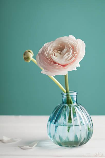 rosa ranunkel in vase auf türkis hintergrund, schönen frühling blumen - vase glas stock-fotos und bilder