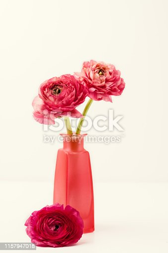 Pink ranunculus (buttercup) in vase on white backgroundClose up  of pink ranunculus (buttercup) on white background