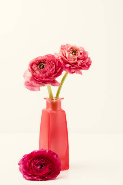 Pink ranunculus (buttercup) on white background stock photo