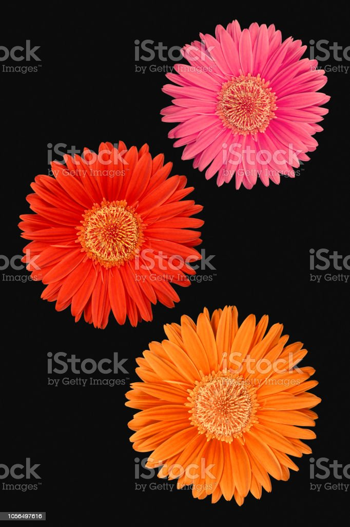 Pink, red and orange Gerbera flowers on a black background