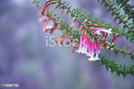 Endemic to eastern Australia where is grows in woodland understory and heath. Commonly known as Fuchsia Heath, Native Fuchsia, Scarlet Epacris or Cigarette Flower.