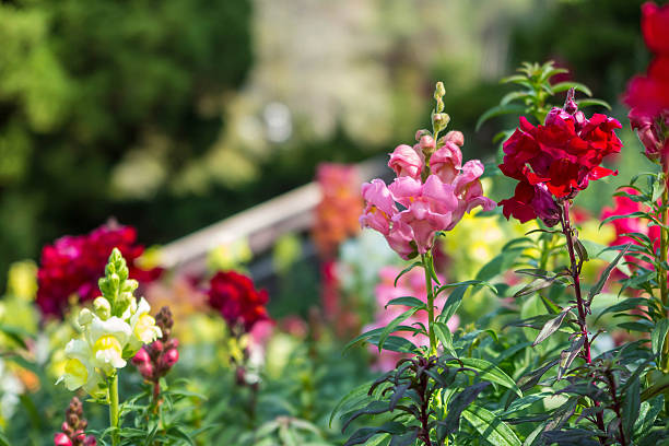 Pink, red and yellow balsam flower in the garden stock photo