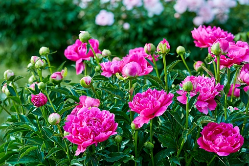 istock Pink red sunny peony flowers in botanical garden in spring in Moscow 1133388393