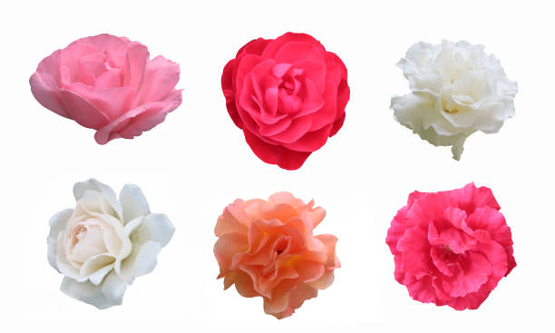 Pink red white peach roses on white background with clipping path picture id1022179634?b=1&k=6&m=1022179634&s=612x612&w=0&h=v4svbf75wqhksjovxqn1shpb6odz5q8awc86bb9x0ek=