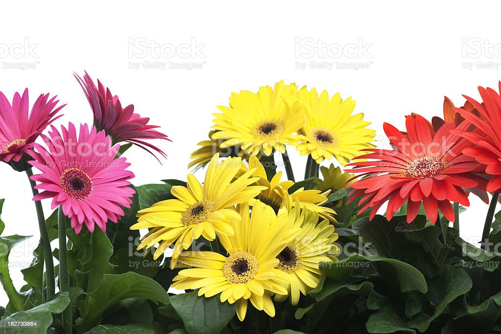 Pink, Red, Yellow Gerbera Daisies Flower Border on White Background royalty-free stock photo