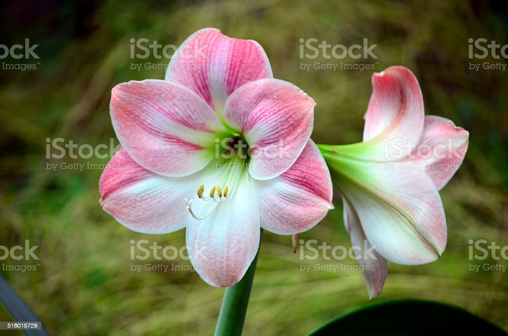 Pink reddisch amaryllis stock photo