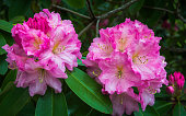 A close up of a  pink Rhododendron  bush in full spring blloom on Cape Cod.