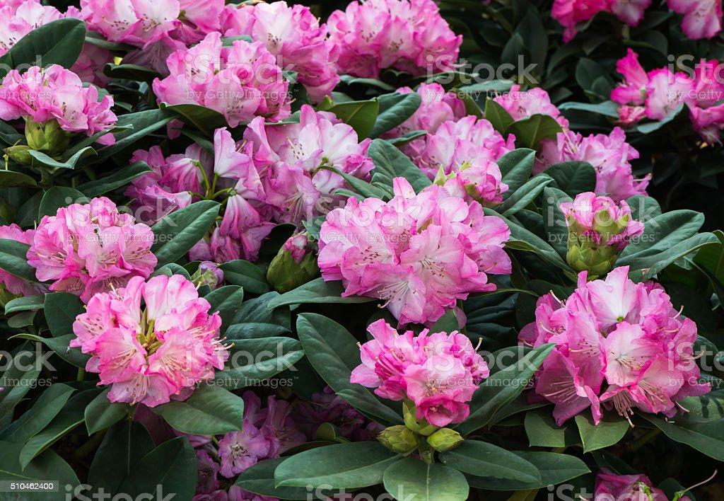 Rosa Rhododendron Blume – Foto