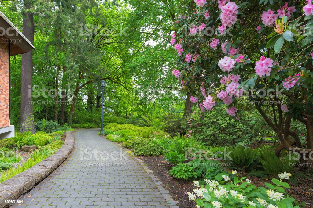 Pink Rhododendron flowers in bloom and plants along garden paver brick path stock photo