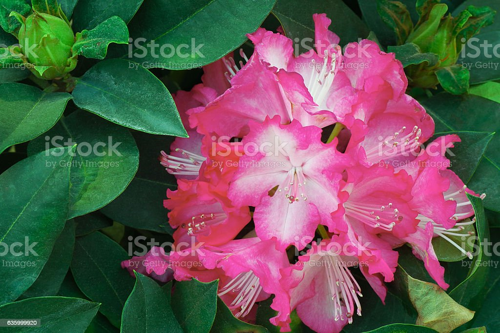 Pink rhododendron flowers with green leaves background – Foto
