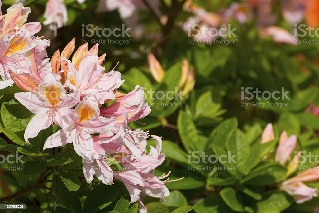 Pink Rhododendron Flowers - XXXL royalty-free stock photo
