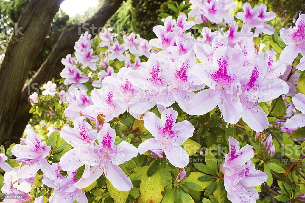 Pink Rhododendrons royalty-free stock photo
