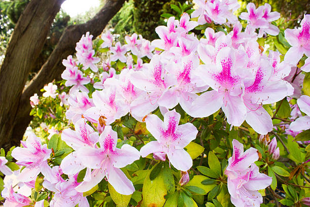 Pink Rhododendrons stock photo