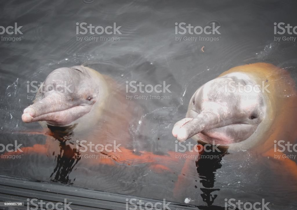 Rosa Fluss-Delphin-Freunde – Foto