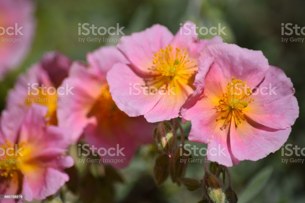 Rosa rock-rose blomma royaltyfri bildbanksbilder