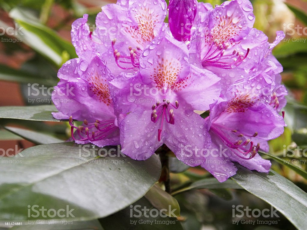 Pink Rododendron royalty-free stock photo