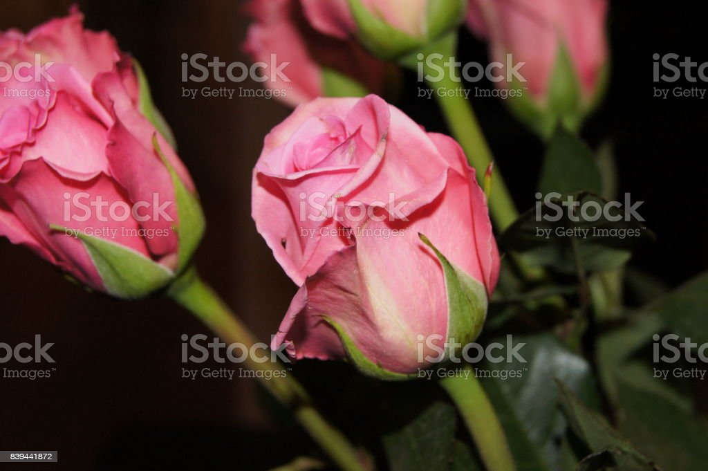 Pink Rose 3 stock photo