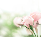 istock Pink rose after rain 185058892