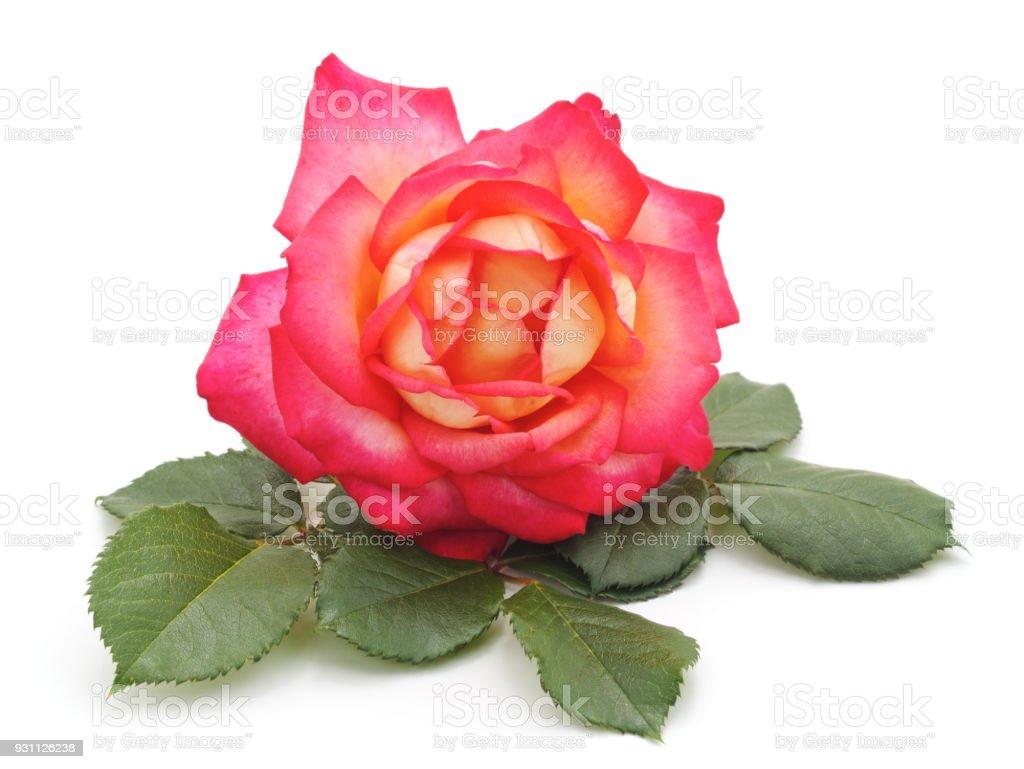Pembe Gül ve yaprakları. - Royalty-free Ağaç Çiçeği Stok görsel