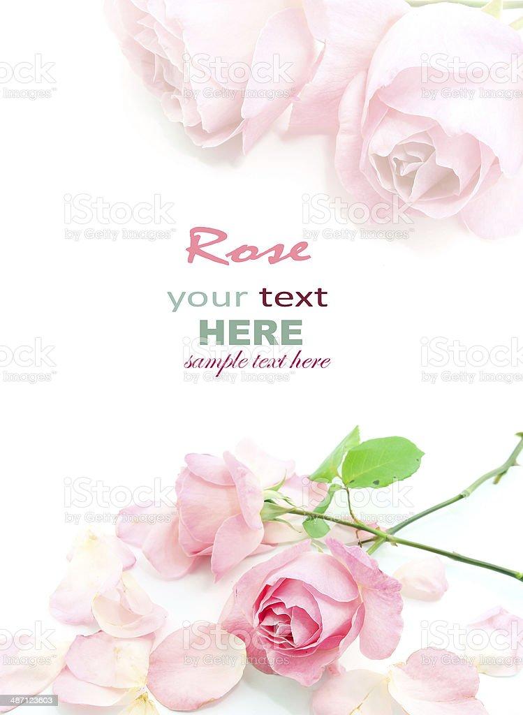 Pink rose and petals stock photo