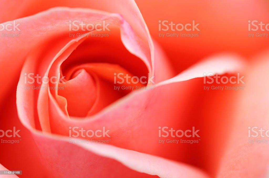 Pink Rose Background royalty-free stock photo