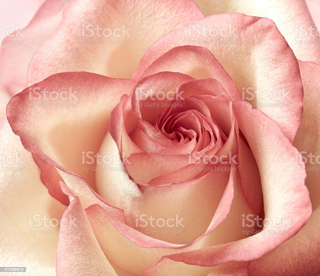 Pink rose background stock photo