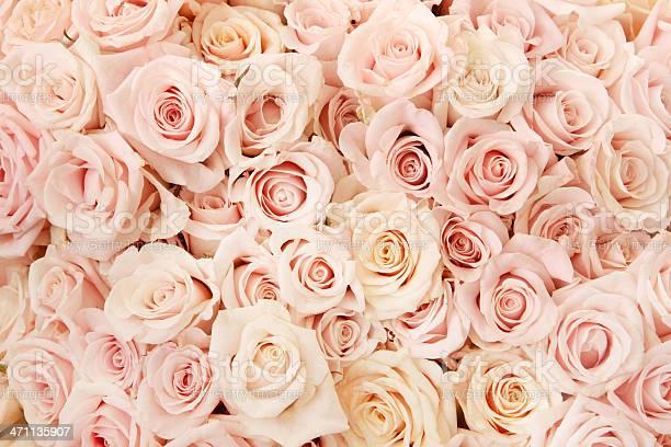 Pink rose beauty picture id471135907?b=1&k=6&m=471135907&s=612x612&h=kfnqlfylxr8wiz2hgfyqkr4me2uz guzldwuasno kq=