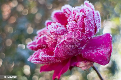 Pink rose bloom in winter covered with ice crystals