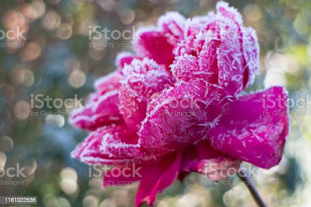 Pink rose bloom in winter covered with ice crystals picture id1161022535?b=1&k=6&m=1161022535&s=612x612&h=wqv5swerlgrqprqgv6yrzwwmrbfgwefd7vf4djaqneq=