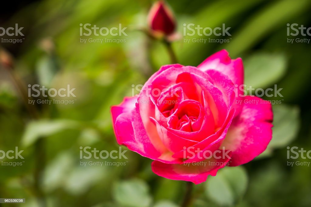 Pink rose blooming in a garden - Royalty-free Arrangement Stock Photo
