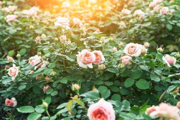 Pink rose blooming in the garden picture id670232210?b=1&k=6&m=670232210&s=612x612&w=0&h=b1 bkkutrtbrvztbofoxfncgdh8y5thj9mfxywdbkc8=