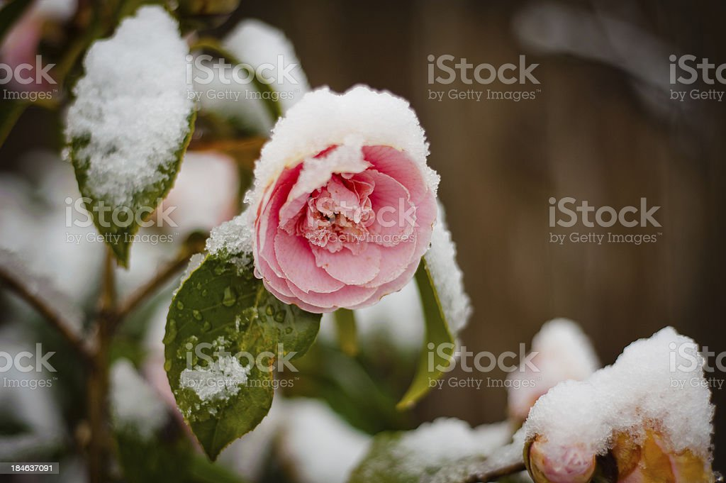 Pink Rose Blossom in a late snow. stock photo