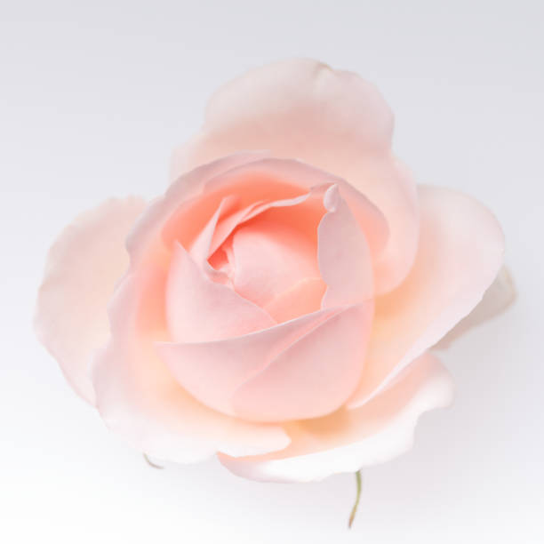 Pink rose blossom isolated on the white background stock photo