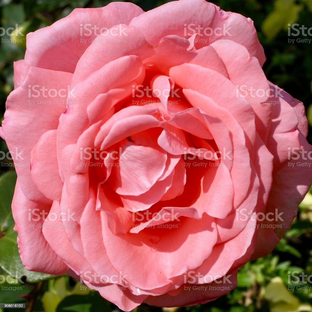 Pink Rose blossom stock photo